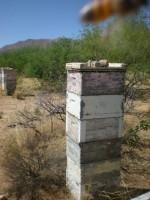 един от пчелините на Дии Лъcби, точно преди началото на обилния медосбор