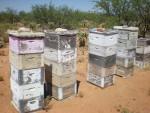 пчелни семейства, отгледаждани в неограничени гнезда