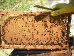 натурално пчеларство - пита със закрито пило
